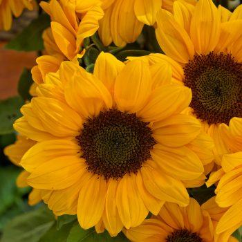 Vincent Choice from Sakata - Year of the Sunflower - National Garden Bureau