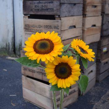 Vincent's Choice from Garden Trends - Year of the Sunflower - National Garden Bureau
