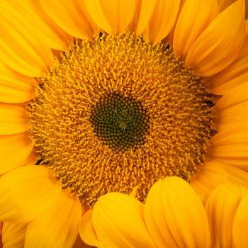 Vincent's Fresh from Garden Trends - Year of the Sunflower - National Garden Bureau