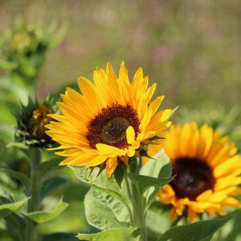 Zohar Organic from Garden Trends - Year of the Sunflower - National Garden Bureau