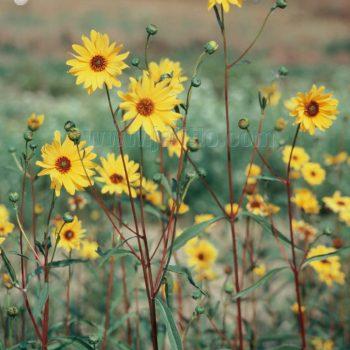 Laetiflorus from Jelitto - Year of the Sunflower - National Garden Bureau