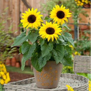 SunBuzz Sunflowers- Year of the Sunflower