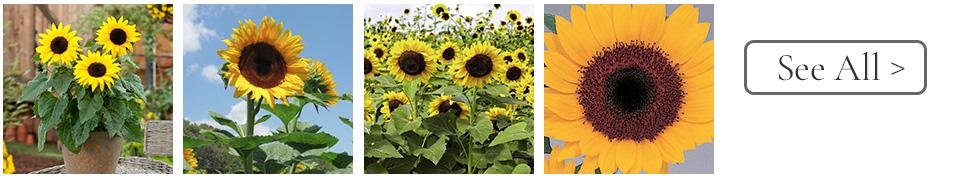 Celebrate the Year of the Sunflower - National Garden Bureau
