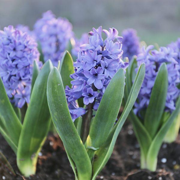 Delft Blue from Longfield Gardens - Year of the Hyacinth - National Garden Bureau