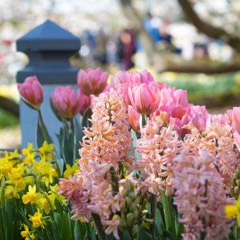 Gypsy Queen from Longfield Gardens - Year of the Hyacinth - National Garden Bureau