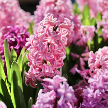 Pink Pearl from Longfield Gardens - Year of the Hyacinth - National Garden Bureau