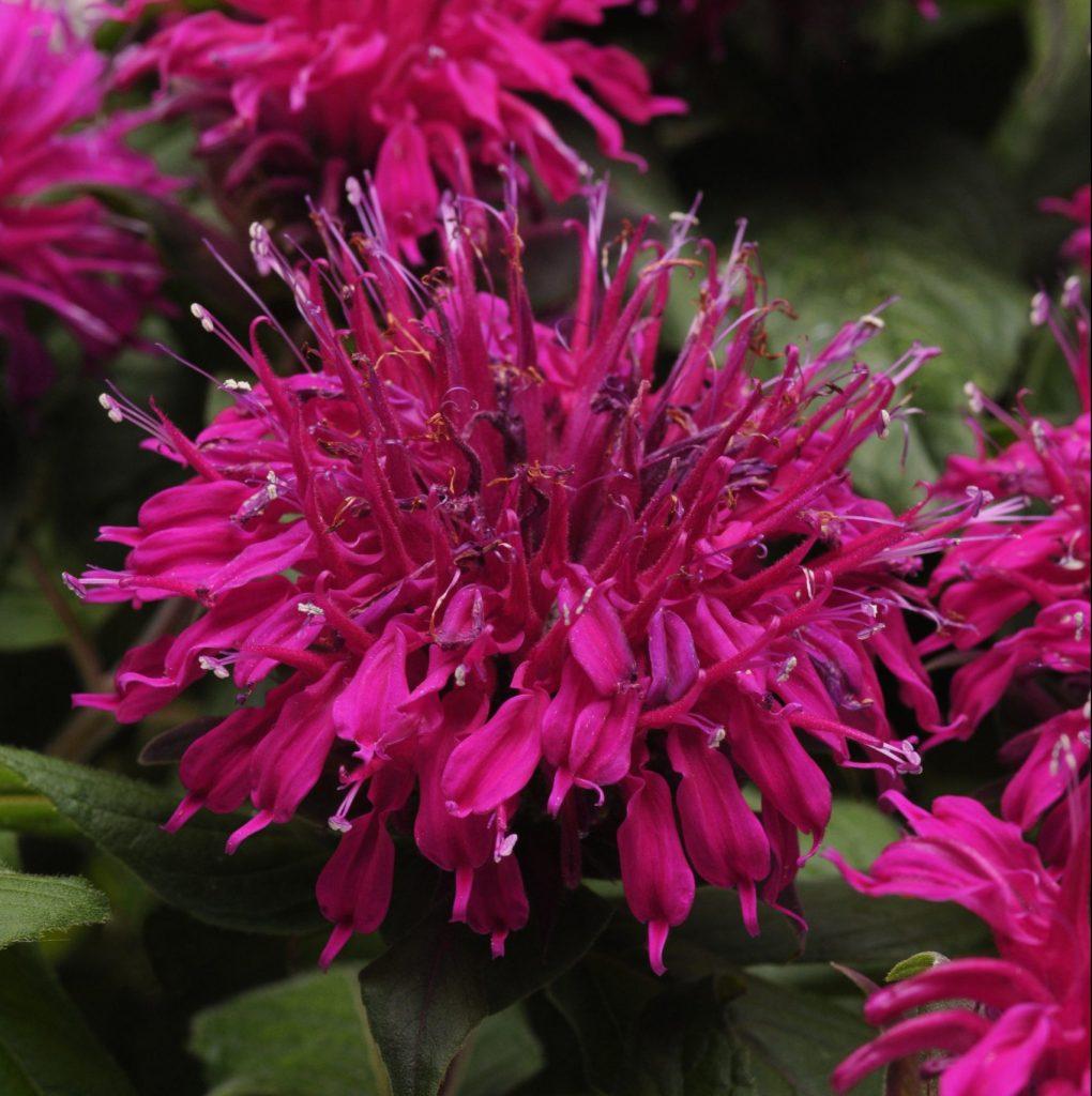 Balmy Purple from Ball Horticulture - Year of the Monarda - National Garden Bureau