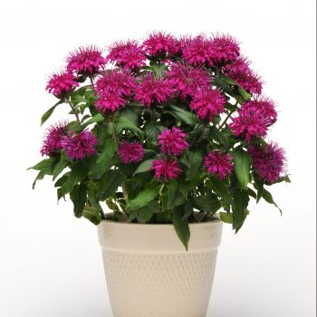 Balmy Purple Container from Ball Horticulture - Year of the Monarda - National Garden Bureau