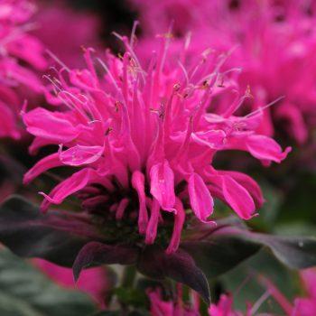 Balmy Rose Bloom from Ball Horticulture - Year of the Monarda - National Garden Bureau