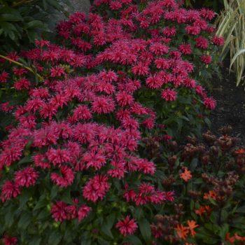 Sugar Buzz Cherry Pops Bloom from Ball Horticulture - Year of the Monarda - National Garden Bureau