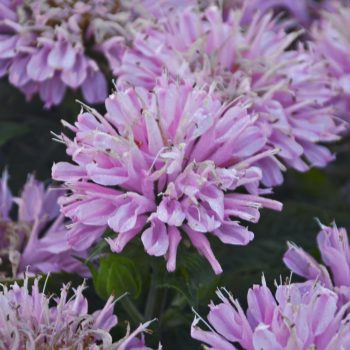 Sugar Buzz Frosting Pink Frosting Bloom from Ball Horticulture - Year of the Monarda - National Garden Bureau