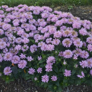 Sugar Buzz Frosting Pink Frosting Garden from Ball Horticulture - Year of the Monarda - National Garden Bureau