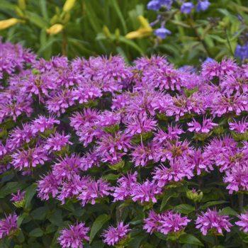 Sugar Buzz Lilac Lollipop Garden from Ball Horticulture - Year of the Monarda - National Garden Bureau