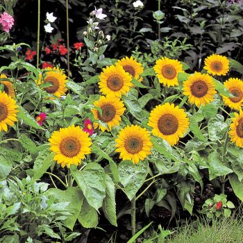 Big Smile from Takii - Year of the Sunflower - National Garden Bureau