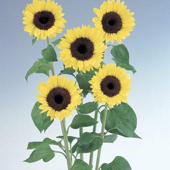 Light Yellow Stem from Takii - Year of the Sunflower - National Garden Bureau