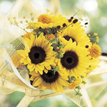 Premier Lemon from Takii - Year of the Sunflower - National Garden Bureau
