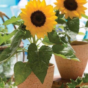 Smiley from Takii - Year of the Sunflower - National Garden Bureau