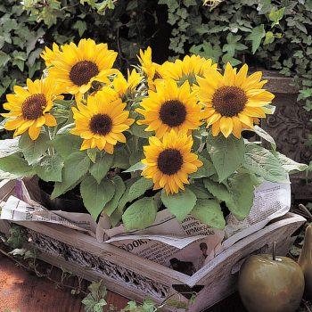 Sunny Smile from Takii - Year of the Sunflower - National Garden Bureau