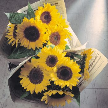 Sunrich Lemon from Takii - Year of the Sunflower - National Garden Bureau