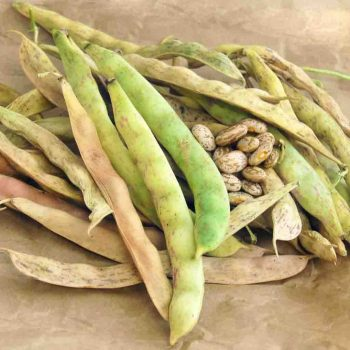 Pinto Bean from Ferry-Morse - Year of the Garden Bean - National Garden Bureau