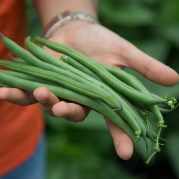 Sybaris from Seminis - Year of the Garden Bean - National Garden Bureau