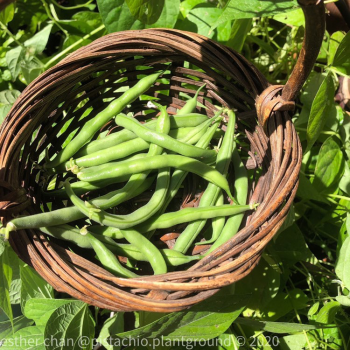 Tendergreen Improved from Ferry-Morse - Year of the Garden Bean - National Garden Bureau