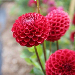 Dahlia Cornel new from NGB member Longfield Gardens