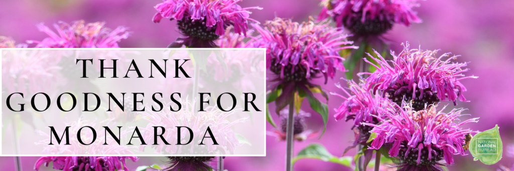 Thank Goodness 2021 is the Year of the Monarda! - National Garden Bureau