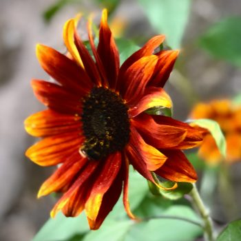 Autumn Beauty Mixed Colors from Ferry-Morse - Year of the Sunflower - National Garden Bureau