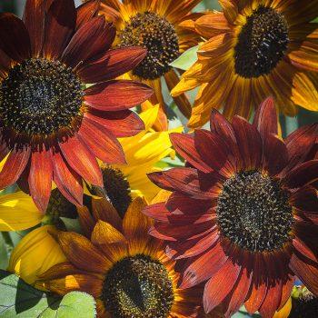 Evening Sun Mixed Colors from Ferry-Morse - Year of the Sunflower - National Garden Bureau