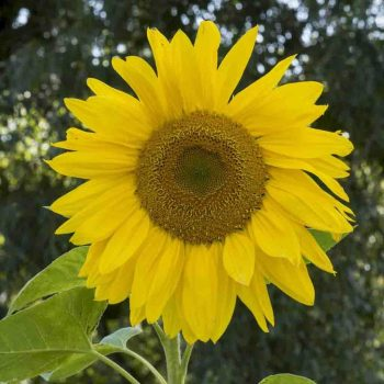 Mammoth from Ferry-Morse - Year of the Sunflower - National Garden Bureau