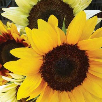 Mixed Colors from Ferry-Morse - Year of the Sunflower - National Garden Bureau