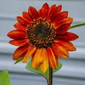 Velvet Queen from Ferry-Morse -Year of the Sunflower - National Garden Bureau