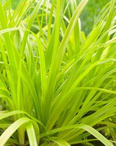 Carex EverColor Everillo for winter color - National Garden Bureau