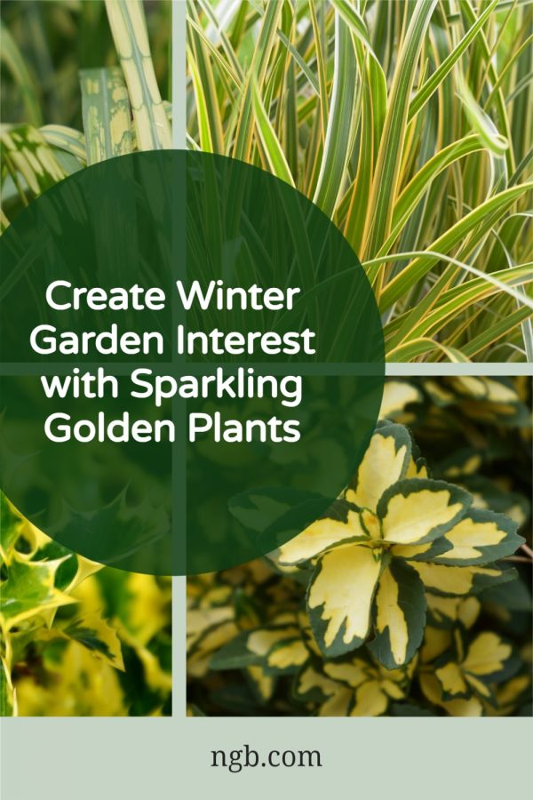 Create Winter Garden Interest with Sparkling Golden Plants - National Garden Bureau