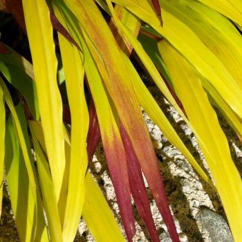 Hakonechloa macra Sunflare™ a new perennial to enjoy a seasons including winter - National Garden Bureau