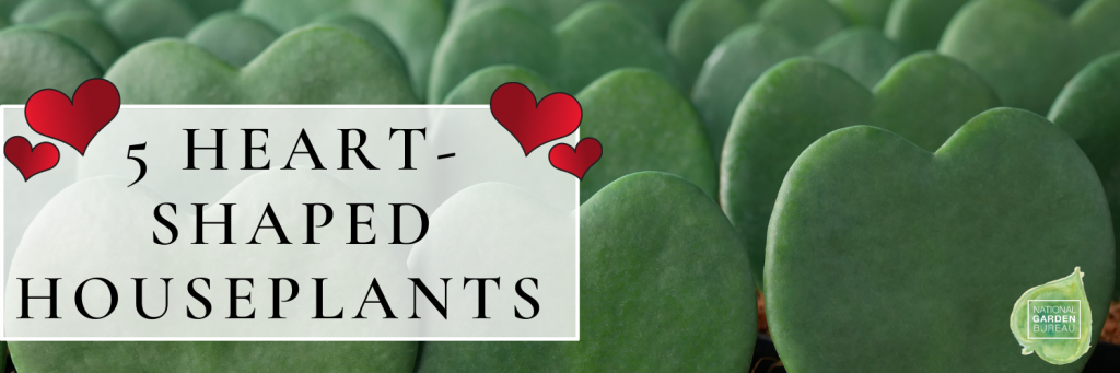 5 Heart-Shaped Houseplants to give to that special someone! Easy-to-grow and perfect for holidays like Valentine's Day - National Garden Bureau