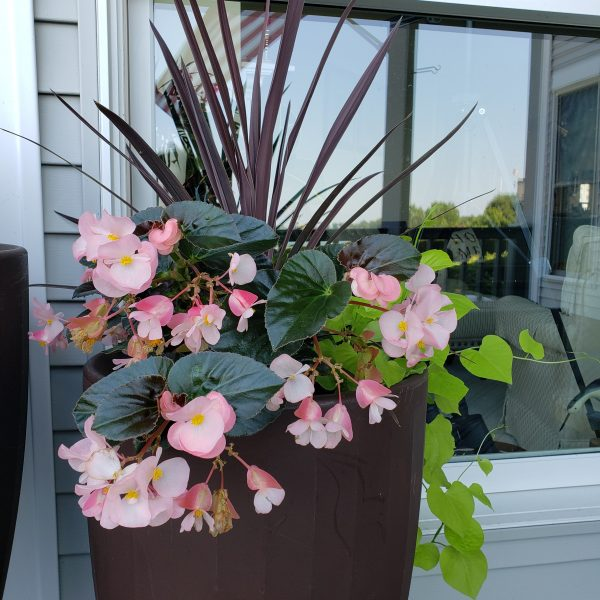 Makatea sweet potato vines with Begonias and Cordyline which brightened a less sunny spot on the deck - National Garden Bureau