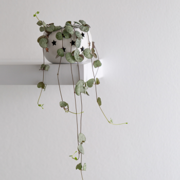 String of Hearts are the perfect heart-shaped houseplant gift of love - National Garden Bureau