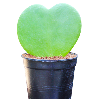 Heart-Shaped Sweetheart Hoya - a lovely houseplant gift for your special love one - National Garden Bureau
