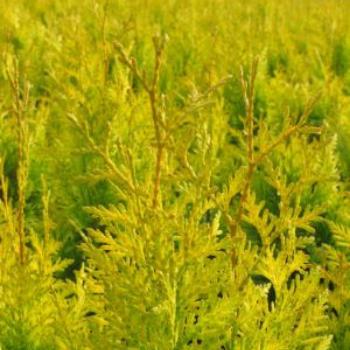 Thuja plicata Golden Spire for Winter Color in your Garden - National Garden Bureau