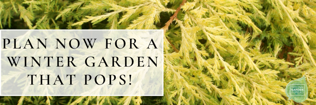Plan now for Sparkling Golden Plants for creating winter interest - National Garden Bureau