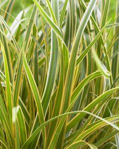 Carex EverColor Everglow for Winter Color - National Garden Bureau