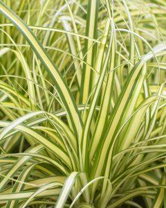 EverColor® Carex Everoro for Winter Garden Color - National Garden Bureau