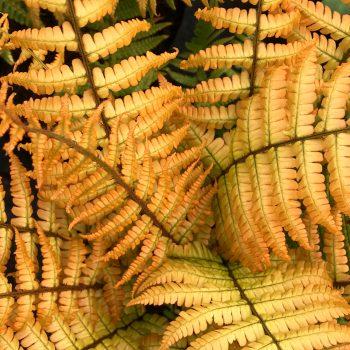 ! Dryopteris wallichiana Jurassic Gold