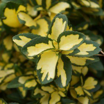 Euonymus Summer Runner a beautiful addition to your winter garden landscape - National Garden Bureau