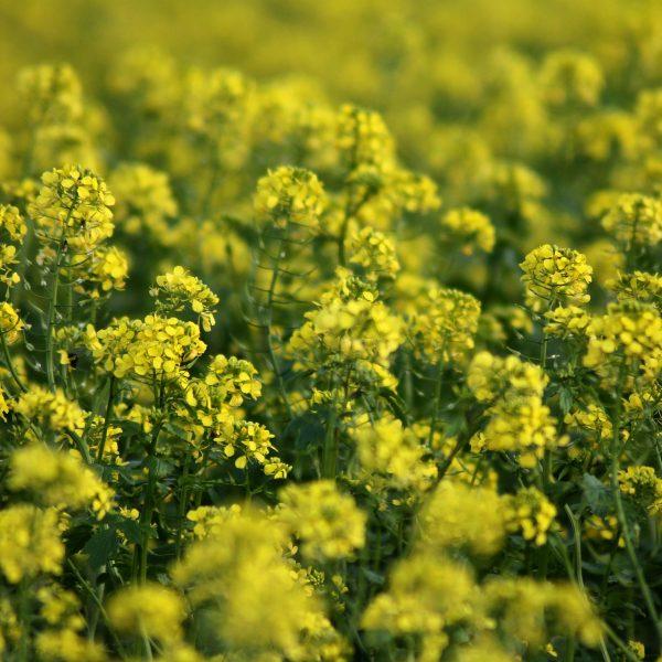 Green Manure - Soil Basics
