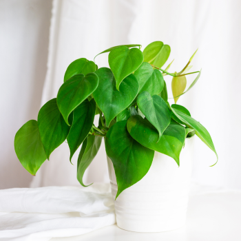 Heart-Shaped heart leaf Philodendron is an easy to grow houseplant to give your loved one - National Garden Bureau