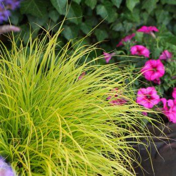 Pennisetum alopecuroides Lumen Gold™ for a yellow addition to your winter garden - National Garden Bureau