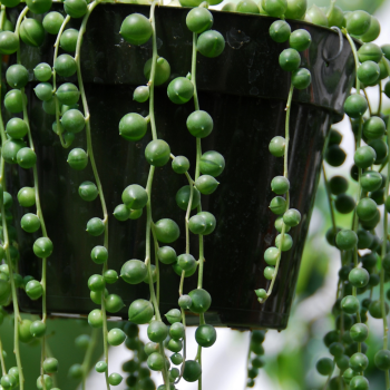 What's better than a necklace strung of pearls? A String of Pearls plant - 5 houseplants that show your love - National Garden Bureau